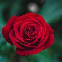 عکس پروفایل گل رز + معانی رنگ گل رز 98